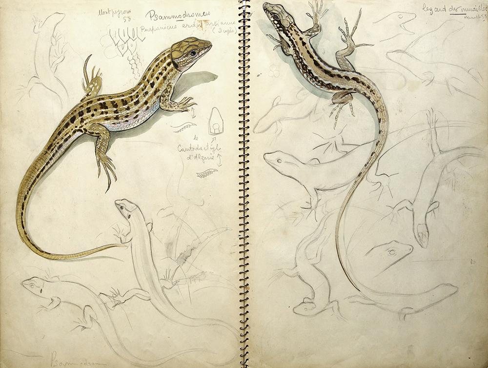 012_Psammodrome Hispanique et Lézards des Murailles