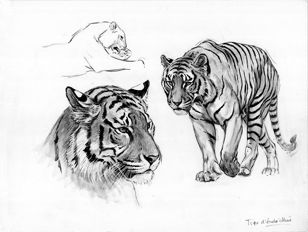 018_Tigre d'Indochine