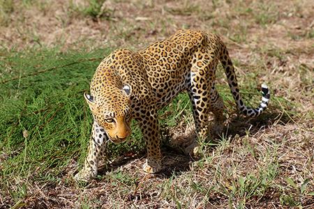 01- Panthère du Kenya