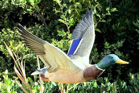 10-Canard Colvert en Vole