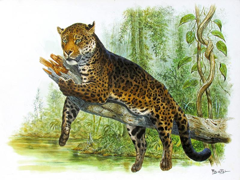 07- Panthère Longibande ou Nébuleuse (65x50)