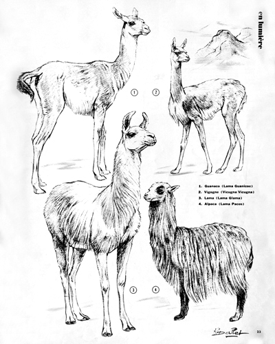01- Precious Andean Llamas (March 1972)