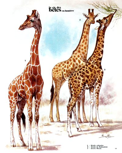 07- The Savannah Giraffes (August 1972)
