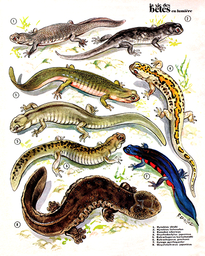 25- Tritons and Salamanders of Asia (February 1974)